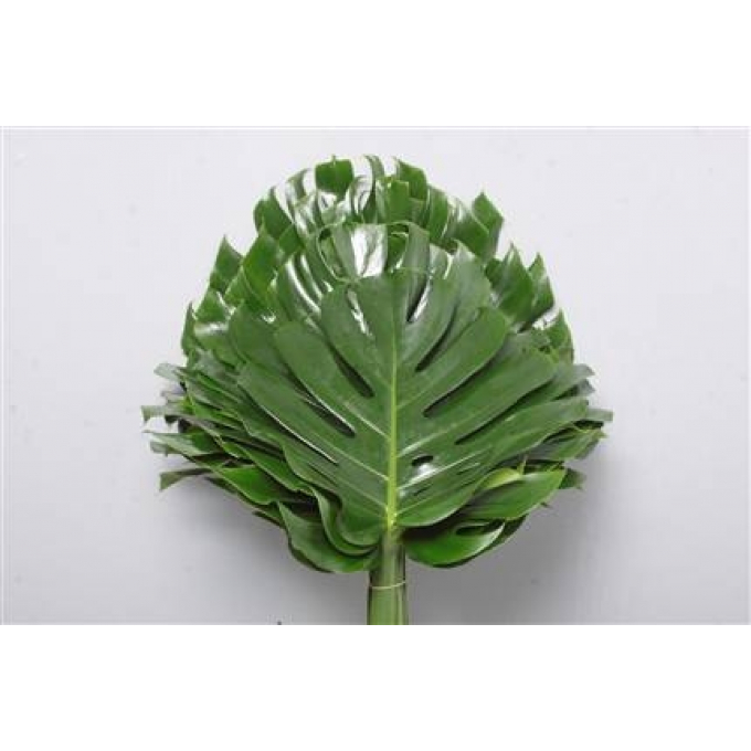5 Philondendron Monstera leaves