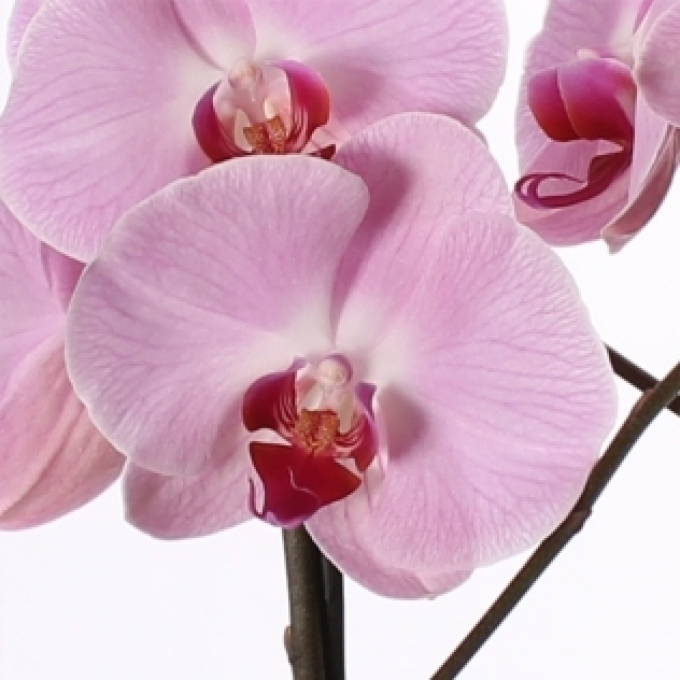 Phalaenopsis 2 stems in a vase of glass