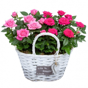 Pot Rose in a white grey basket with hearts