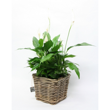 Spathiphyllum in a wicker basket