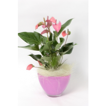 Anthurium in a pink glass scale with wooly