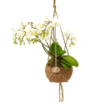 Phalaenopsis wild orchid in a coconut shell (hanging pot)