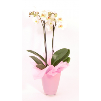 Phalaenopsis 2 stems in a pink glass pot with a pink cloth