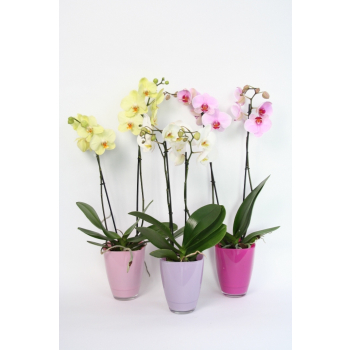 Phalaenopsis 2 stems in a colored glass pot in pink shades