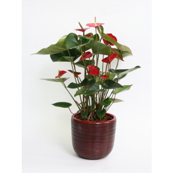 Anthurium red in a red ceramic Cabo red pot