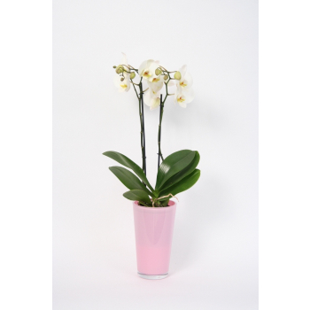 Phalaenopsis 2 stems in a pink colored glass pot high model