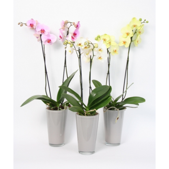 Phalaenopsis 2 stems in a light grey colored glass pot
