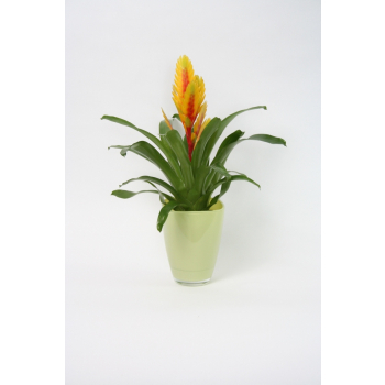 Vriesea in a glass pot anise colored