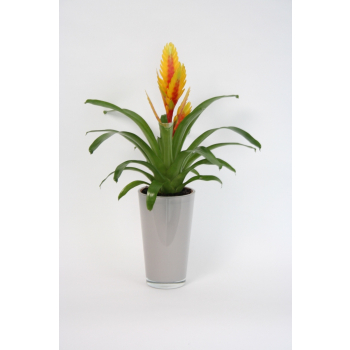 Vriesea in a glass pot taupe colored high model