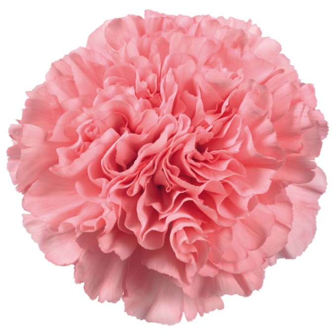 10 Carnations various colors