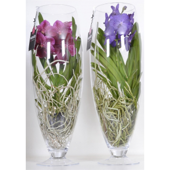 Vanda Orchid in a champagne glass vase