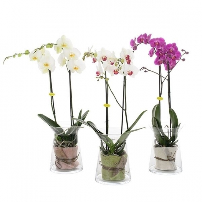 Phalaenopsis 2 stems in a hourglass with felt inlay