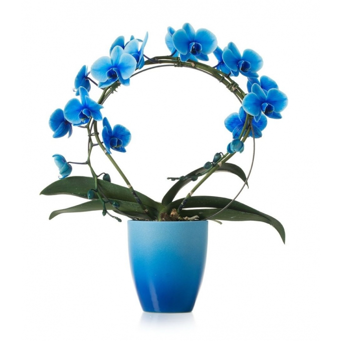 Phalaenopsis painted blue bow in a ceramic pot