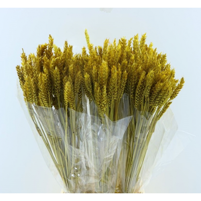 Dry Wheat Bunch with a yellow color treatment