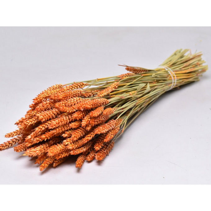 Dry Wheat Bunch with a orange color treatment