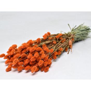 Dried Phalaris with color treatment burnt orange