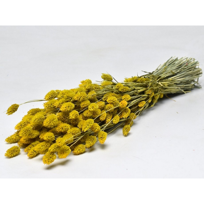 Dried Phalaris with color treatment yellow