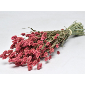 Dried Phalaris with color treatment pink