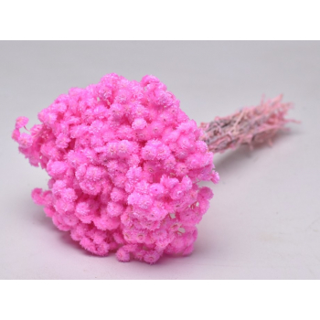 Dried Helichrysum immortelle pink