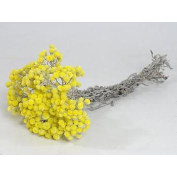 Dried Helichrysum immortelle