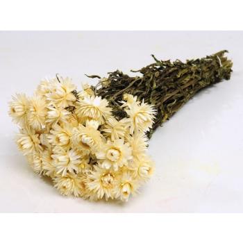 Dried Helichrysum white