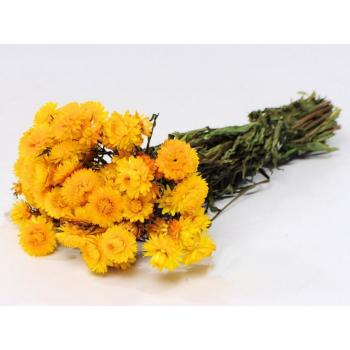 Dried Helichrysum jaune