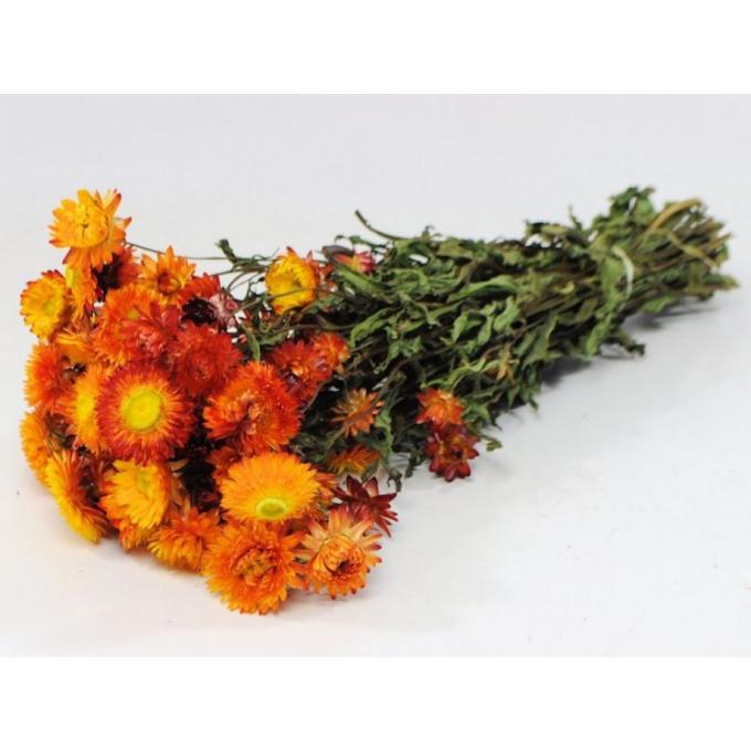 Dried Helichrysum orange yellow