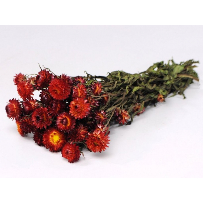Dried Helichrysum red