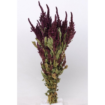 Bunch of dried Amaranthus red