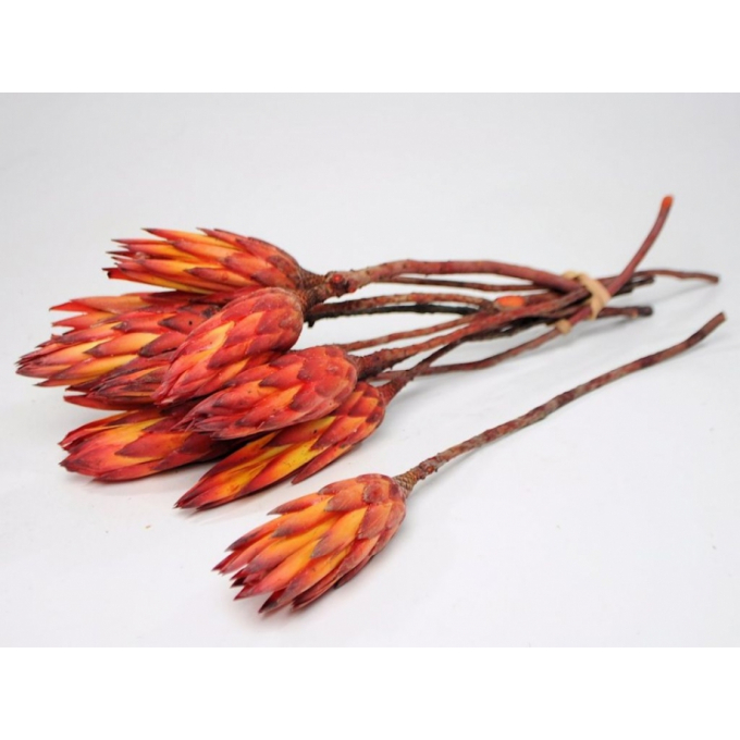 Dried Protea red