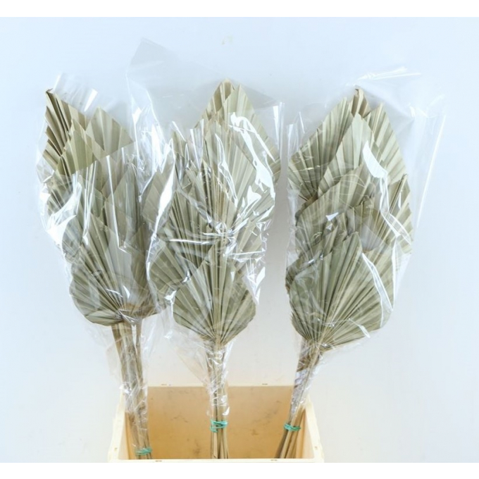 Spades Spears Palm mini naturel per 10 Palm spears