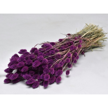 Dried Phalaris with color treatment purple