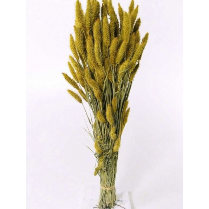 Foxtail dried (125 gr) yellow