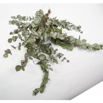 Eucalyptus Cinerea dried