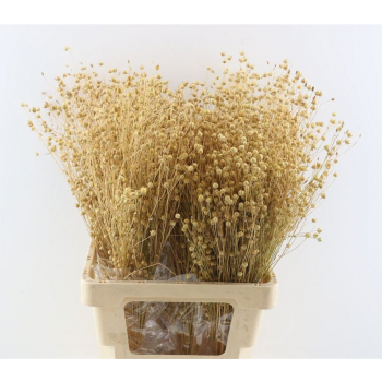 Bunch of dried Linum natural (100 gr)