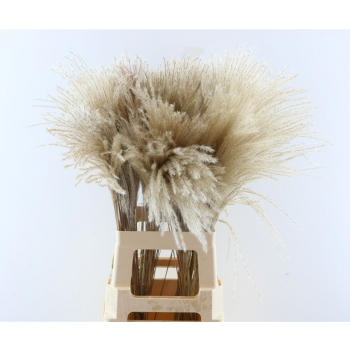 Fluffy Reed grass plumes