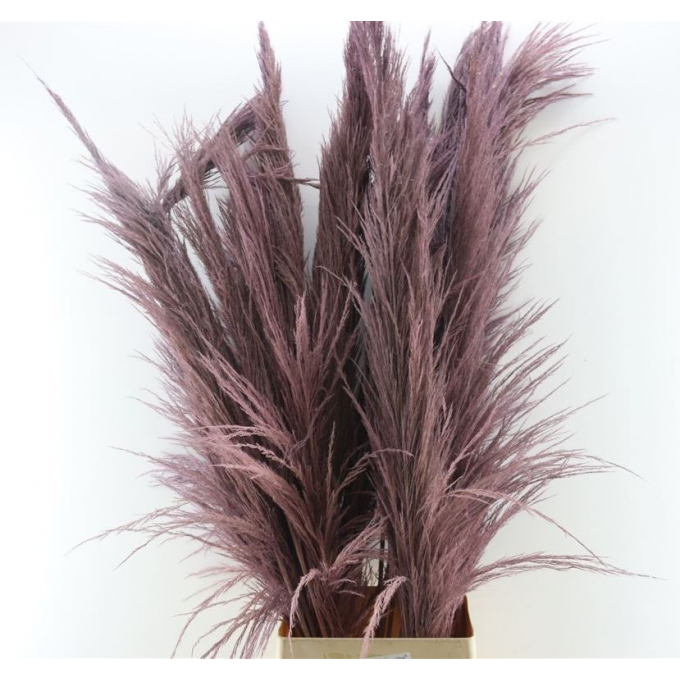 Dried Pampas grass milka well-filled plume