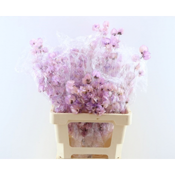 Dried Bougainvillea bleached lavender