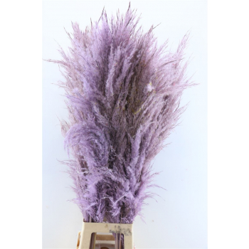 Dried Pampas grass milka well-filled soft plume