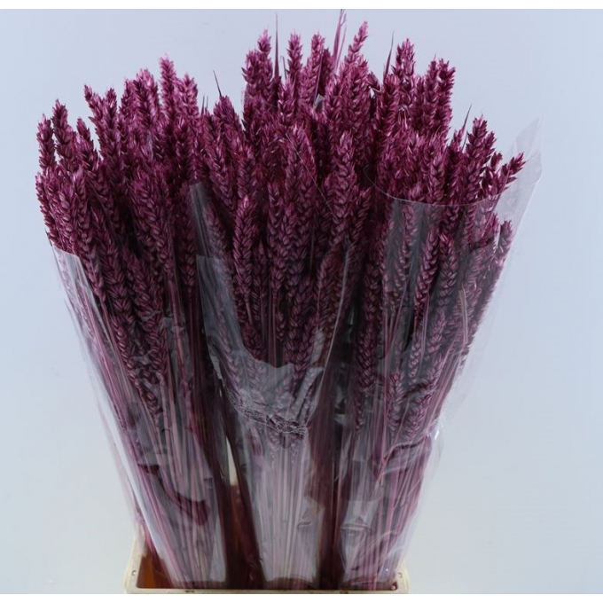 Dry Wheat Bunch with a lilac color 200 grams