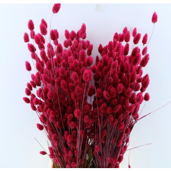 Dried Phalaris with color treatment cerise
