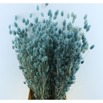 Dried Phalaris with color treatment light blue