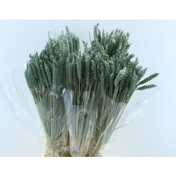 Dry Wheat Bunch with a light blue color treatment