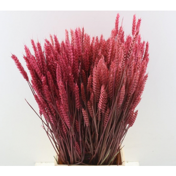 Dry Wheat Bunch with a cerise color treatment 200 grams