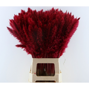 Fluffy Pampas (Miscanthus) plumes red