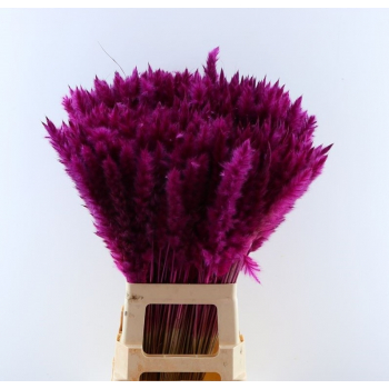Fluffy Pampas (Miscanthus) plumes cerise