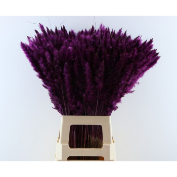 Fluffy Pampas (Miscanthus) plumes purple