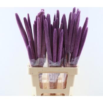 Babala Purple