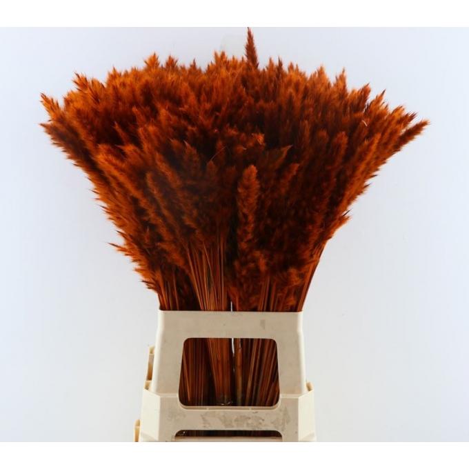 Fluffy Pampas (Miscanthus) plumes orange