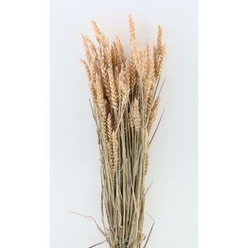 Dry Wheat Bunch with a salmon frosted color treatment